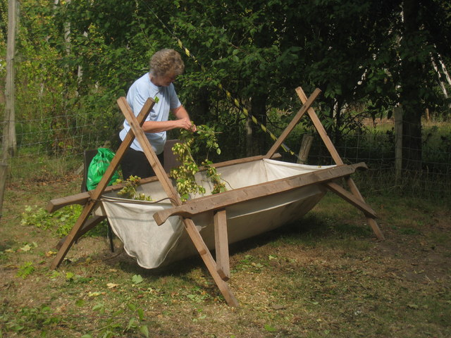 Demonstrating traditional hop picking at Hop Festival. Thousands of hop pickers would come to Kent, often from London, and manually pick each hop off its bine.